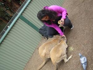 Walibi's eten geven in Featherdale Wildlife Park